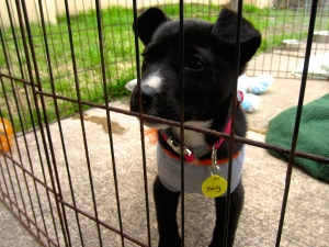 Sealy, a three-month-old terrier mix, awaits the crowd of potential owners off the corner of South Congress Street. Eager by the passing faces, she stands in her cage adjacent from the Austin Pets Alive! tent.